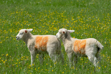 Two Lambs In Red Markings Stand In A Green Prairie Full Of Yellow Flowers At The English Countryside
