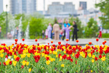 Tulips Grow In A Flower Bed In The City Park For Family Walks