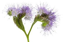 Light Purple Flowers Of Phacelia, Isolated On White Background