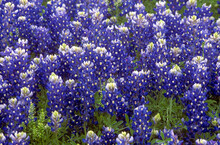 Field Of Texas Bluebonnets (Lupinus Texensis) Blooming In The Hill Country Of Central Texas.