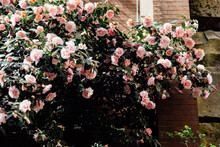 Pink Camellias In The Sunshine Against A Wall Next To A Building