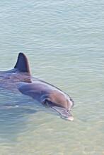 Wild Dolphins In Shallow Waters Of Monkey Mia, Western Australia