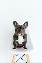 Adorable French Bulldog Sitting On A Chair