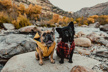 Two French Bulldogs Sitting On A Large Rock Along A Stream In A Ravine In The Season Of Fall