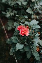 A Dark Pink Red Dahlia Flower In Full Bloom
