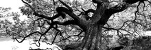 The Great Oak Tree Black And White