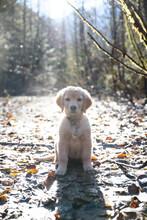 A Golden Retriever Puppy In The Sun