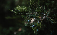 Chinese Juniper (Juniperus Chinensis), Branch With Cones