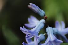 Ladybuf Climbing Hyacinth Flowers In Spring Garden