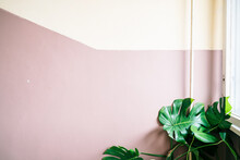 Monstera Deliciosa Leaves Against A Rose Wall