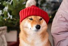Dogs: Shiba Inu Dog In Red Hat