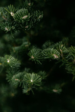 Close Up Of Spruce Tree