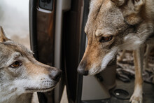 Closeup Of Two Wolf Dogs Looking Each Other