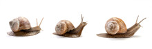 Three Garden Snail Isolated On A White Background