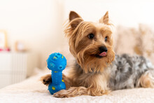 A Yorkshire Terrier Dog Playing At Home