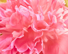 Unfocused Abstract Peony Flowers Background.