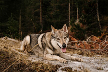Couple Hiking In Mountain With Wolf Dogs During Winter