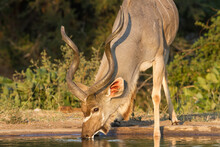 Greater Kudu (Tragelaphus Strepsiceros) Male Head Portrait Drinking Alone At A Waterhole With Golden Light In Kruger National Park, South Africa With Blurred Background