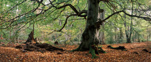 Old Beech Tree In Woodland. Norfolk, UK.
