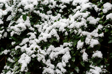 Green Leaves Covered By Snow