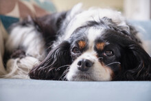 A Cavalier King Charles Spaniel Dog, Resting On The Sofa. UK.