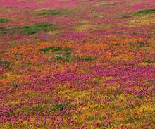 Poppies And Indian Paintbrush - California Poppy Preserve California