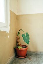 Interior With An Elephant Ear Houseplant
