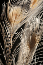 White Peacock Feathers In Sunlight
