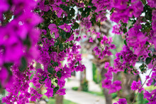 Bougainvillea Spectabilis Branch On White Walls And Stair Atrium Background, Holiday Hot Summer Day Concept