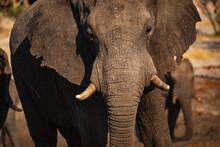 A Large Bull Elephant