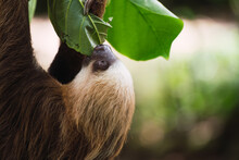 Cute Sloth In Tree Branch
