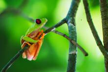 Red Eye Tree Frog Closeup