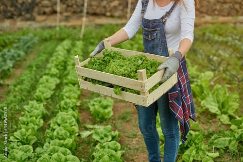 Fototapeta Crop farmer with green lettuce in box on plantation