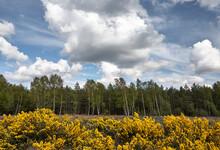 Wild Gorse Bush In Flower (Ulex Europaeous). Thetford Forest, Norfolk, UK.