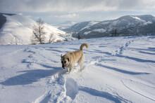 Guard Dog Follows Tracks Made With Human Snowshoes
