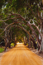 Gum Tree Avenue