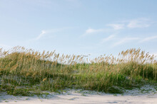 Sea Oats Growing On A Sand Dune In North Carolina