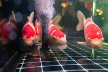 Koi Fish In The Aquarium