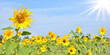 Leinwandbild Motiv Sunflowers on blue sky background