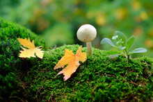 Fluffy Green Moss With Amanita Phalloides, Autumn Leaves, Beautiful Blurred Natural Landscape In The Background, The Concept Of Forest Mood, Leaf Fall