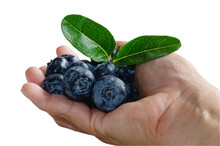 The Picture Of Many Fresh Blueberries On His Hand. (Clipping Path)