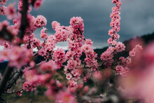 Vivid Pink Flowers Of Almond Tree With A Dark Sky On The Backgro