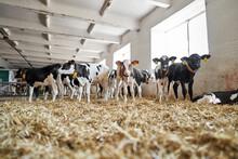 View At Baby Cows At Milk Farm Indoors