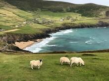 Schafe An Irlands Küste
