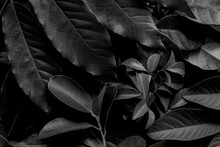 Closeup Nature View Black And White Of Green Leaf And Palms Background. Flat Lay, Dark Nature Concept, Tropical Leaf