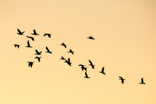 Morning Scene Of Silhouetted Flying Water Birds With Golden Sunrise Sky.