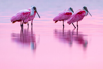 Pink birds in the water