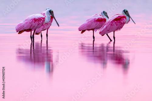 Tela Pink birds in the water