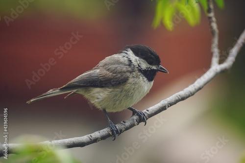 Black Capped Chickadee - Summer backyard birds, selective focus Fototapeta