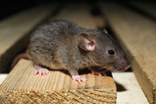 Grey Rat On Wooden Planks, Closeup. Pest Control